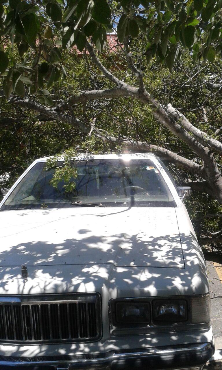 DAÑADO. El vehículo tipo Gran Marquis, recibió la mayor parte del peso del árbol que cayó encima de su techo. (Foto: Heriberto Rodríguez)