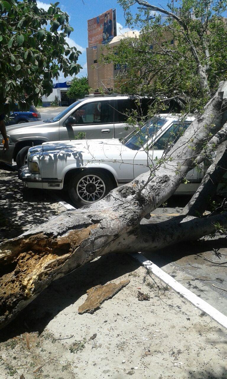 PODRIDO. El enorme árbol que cayó encima de un par de vehículos, ya estaba muy viejo y totalmente podrido del interior del tronco, por lo que finalmente terminó venciéndose por su peso. (Foto: Heriberto Rodríguez)