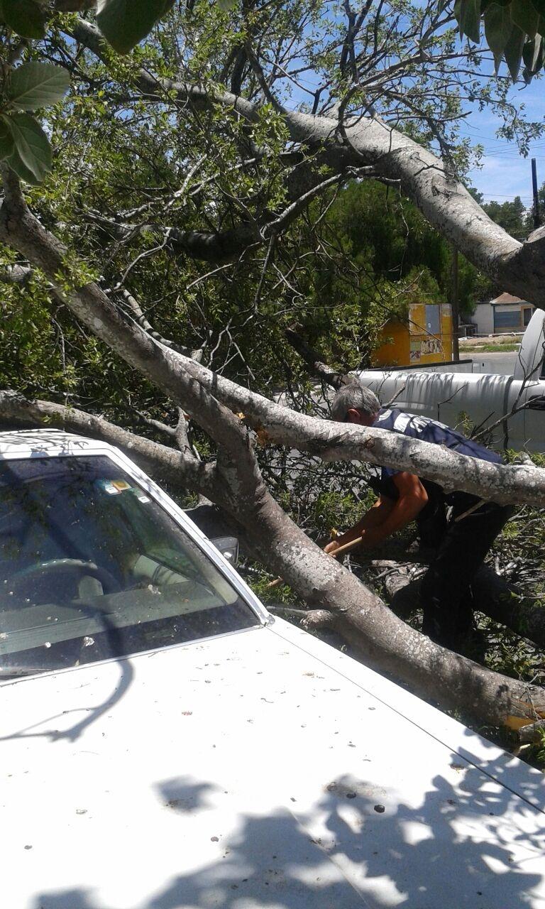 PROCEDEN. Personal de Protección Civil y Bomberos de esta ciudad, procedió con las primeras labores para tratar de retirar el enorme árbol que afectó un automóvil sedán, marca Ford, tipo Grand Marquis. (Foto: Heriberto Rodríguez)