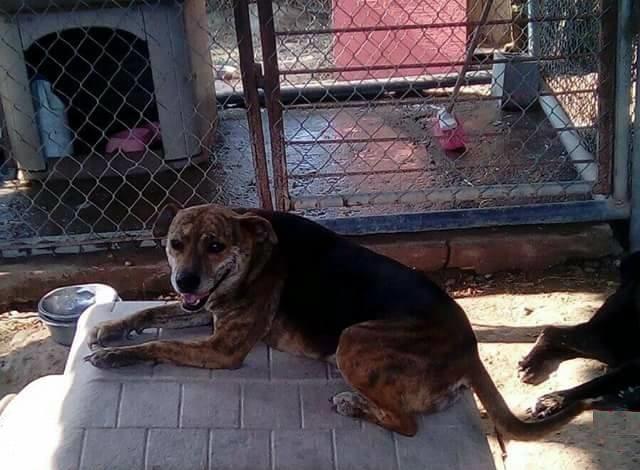 EN EL REFUGIO. La Fundación Respeto Animal, A. C. (FRACC), cuenta con varios ejemplares caninos en espera de ser adoptados por personas responsables que puedan brindar cuidado y amor a estos indefensos animalitos que fueron rescatados de las calles.(foto: