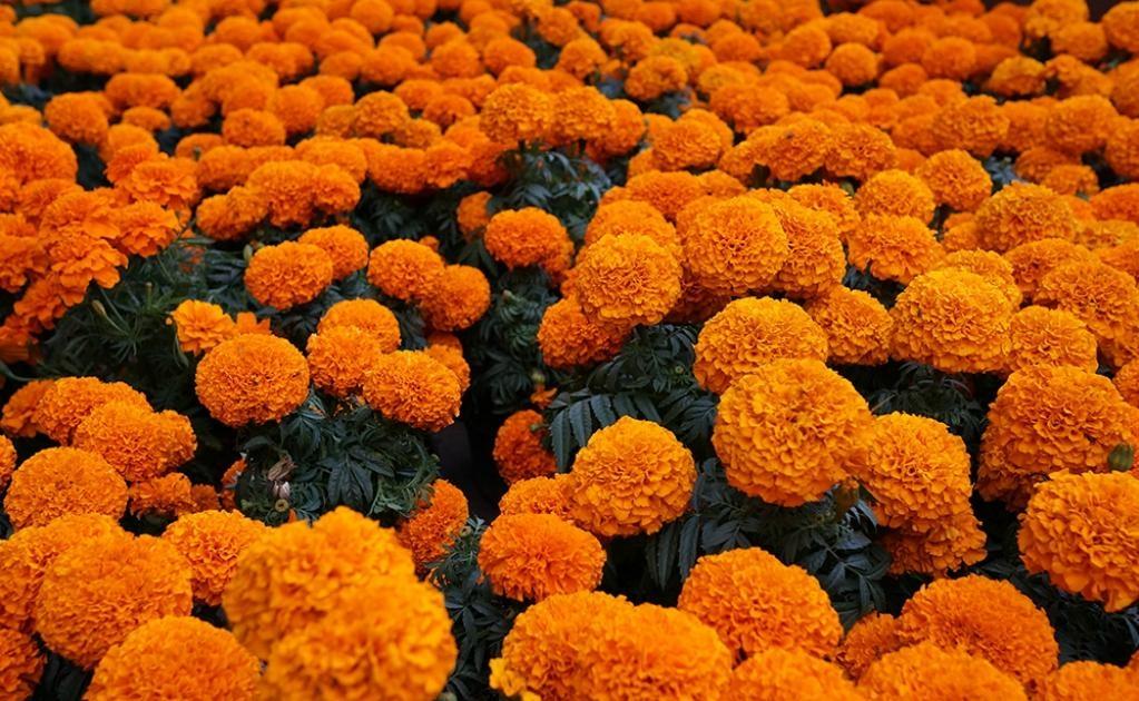 La flor de cempasúchil no solo sirve de decoración, sus pétalos se usan para guiar el camino de los espíritus. (Foto: Omar Landeros/Flickr)