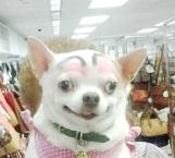 El irreparable daño que sufren los perros con cirugías estéticas a las que los someten sus amos