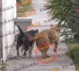 Siguen incidentes sangrientos con canes de pelea