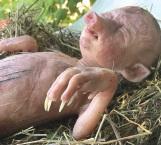 Aterra cerdo con 'rostro de bebé'