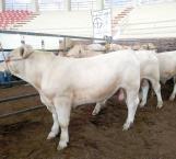 Sequía causa estragos en los bovinos