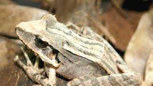 La rana gigante de la Hispaniola
