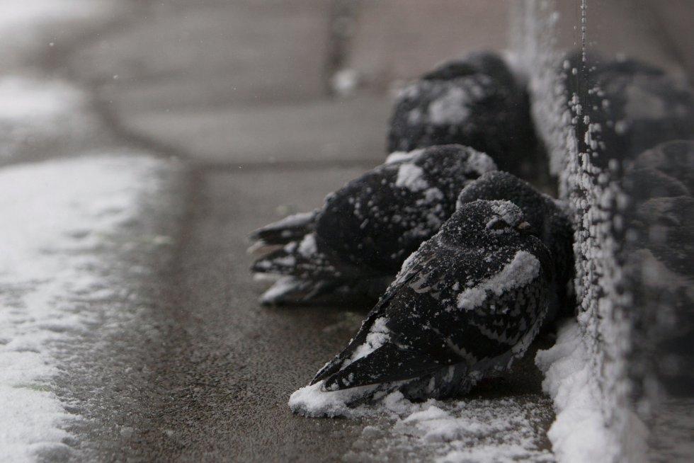 Dos palomas se resguardan de la nieve durante la ola polar en Búfalo, el 30 de enero de 2019.