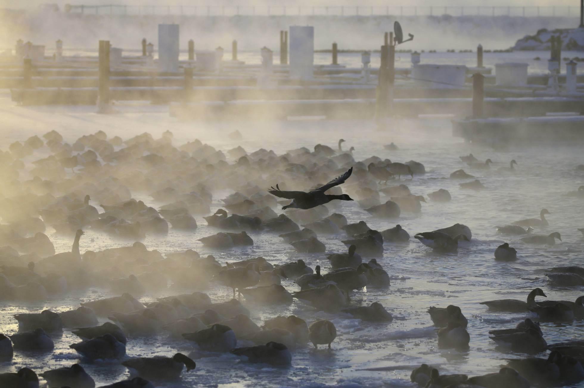 Gansos apiñados en el agua mientras el sol sale en el puerto de Port Washington de Wisconsin, el 30 de enero.