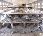 Presentan denuncia penal por muerte de 124 cocodrilos
