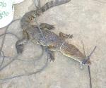 Reportan cocodrilos fuera de su hábitat