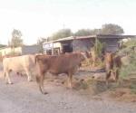 Abunda el ganado suelto en colonias