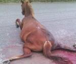Mueren 2 caballos atropellados en la vía Tampico-Mante