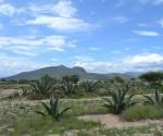 Agave pulquero, cultivo que ofrece alimento, bebida y biocombustible