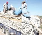 En auge la siembra de algodón por la crisis