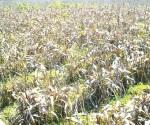 Pulgón amarillo invade sembradíos de sorgo