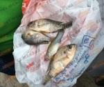Caen del cielo peces en Tampico