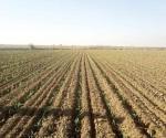 Sin reporte de daños en siembra de sorgo y maíz