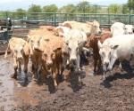 Sin casos de rabia bovina