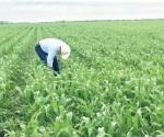Aseguran la  cosecha de sorgo