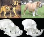 La diferencia en perros de raza ahora y hace 100 años