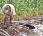 Se desarrollan sin problemas plantas de sorgo y maíz en riego