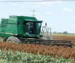 Liquidan apoyos  al maíz y sorgo