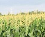 Montos por contratos de maíz y sorgo