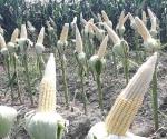Deformación de maíces