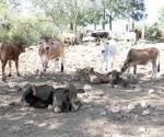 ´Barrido´ de ganado bovino para prevenir la brucelosis