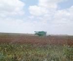 Trillan el sorgo y maíz; ciclo agrícola 2017-18