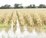 Prevén  dañadas 5 mil hectáreas
