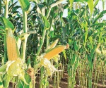 Renace maíz por aguaceros