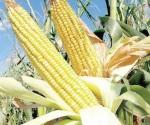 Saldan los pagos del maíz amarillo