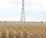 Logran rendimientos significativos en maíz