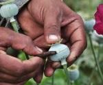 Va Guerrero por despenalizar cultivo de amapola