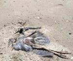 Alertan por manchas de petróleo y aves muertes